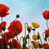 Jigsaw: Field Poppy
