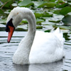 Jigsaw: The Lovely Swan