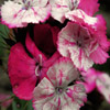 Jigsaw: Pink And White Flowers
