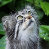 Jigsaw: Pallas Cat