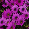 Jigsaw: African Daisies
