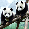 Two Cute Panda