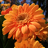 Jigsaw: Orange Large Flower