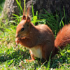 Jigsaw: Red Squirrel
